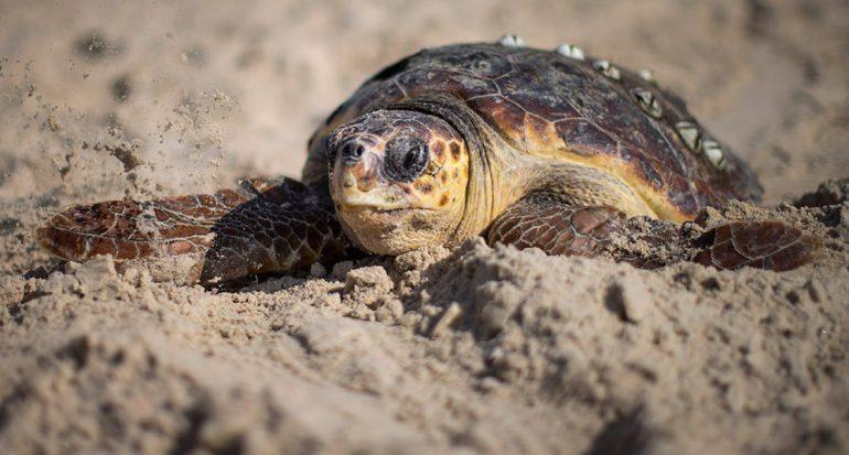 Llega la tortuga caguama a Playa Mamitas
