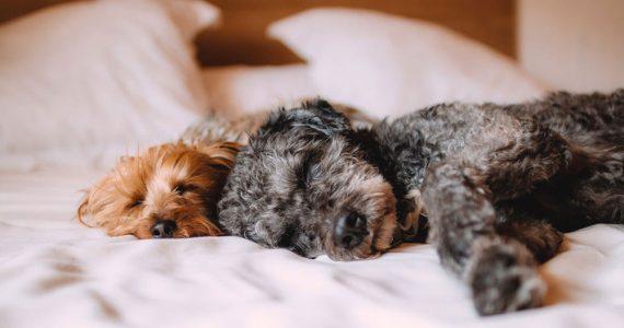 Lo que debes saber sobre los hábitos de sueño de tu perro