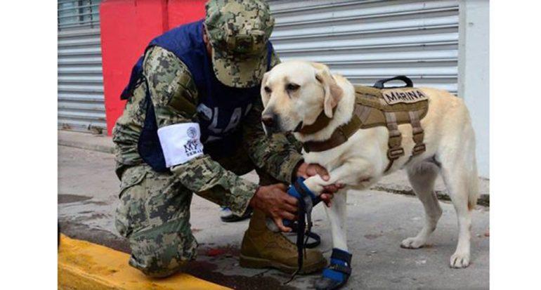 Lo que debes saber sobre los perros rescatistas de la CDMX