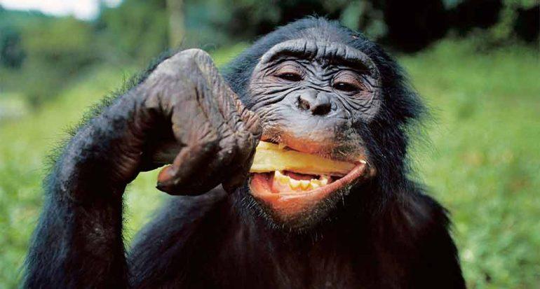 Los chimpancés no pueden cocinar