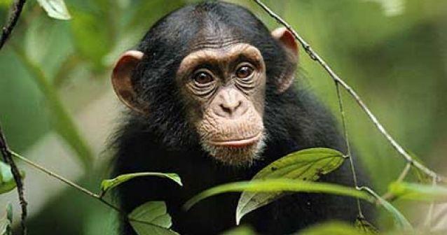 Los chimpancés usan herramientas