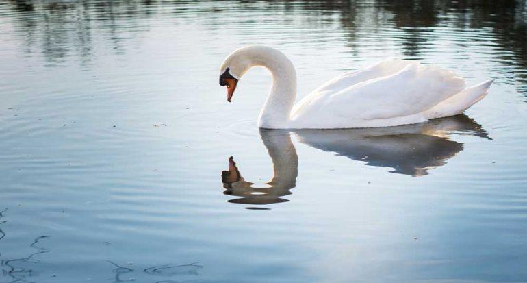 Los cisnes hacen 'windsurf' para desplazarse por el agua