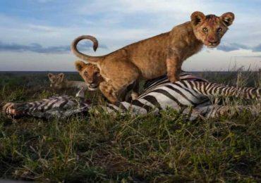Los grandes depredadores de África en acción