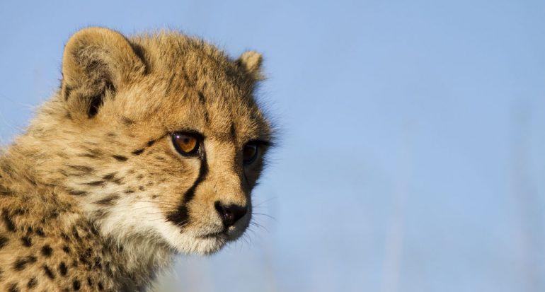 Los guepardos están peligrosamente cerca de la extinción