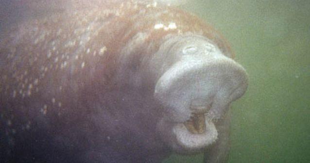Los manatíes poseen un sentido del tacto a larga distancia