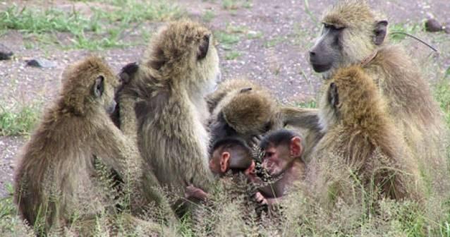 Los padres babuinos