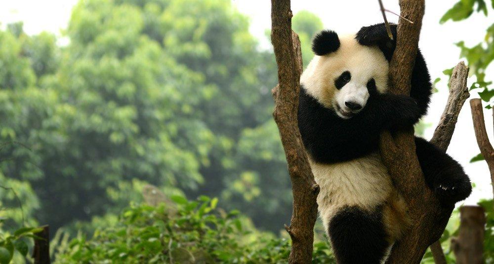 Los pandas, bajo amenaza mortal - National Geographic en