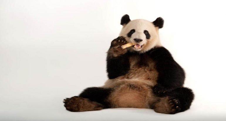 Los pandas ya no están en peligro de extinción (pero los primates sí)