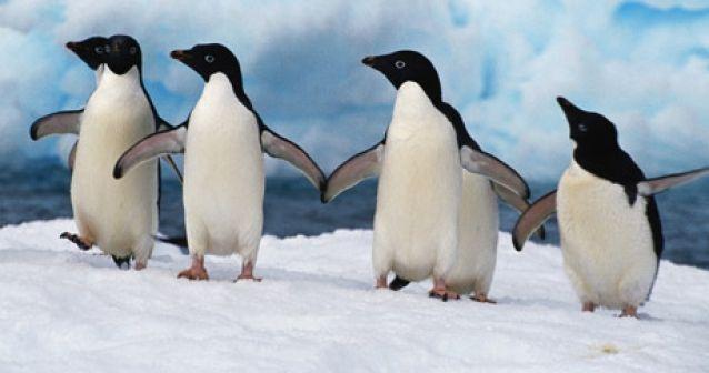 Los pingüinos de Adelia podrían extinguirse en una década