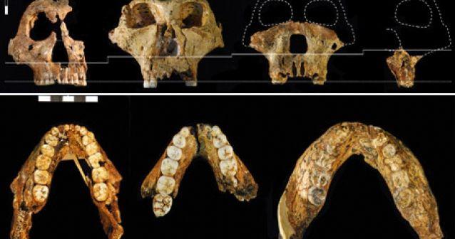Los primeros antepasados del hombre tuvieron sociedades harén