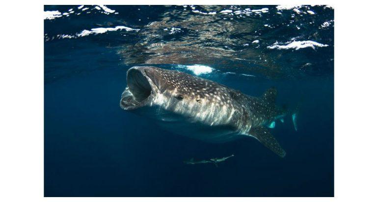 Los tiburones ballena se desplazan de maneras misteriosas: obsérvalos en línea