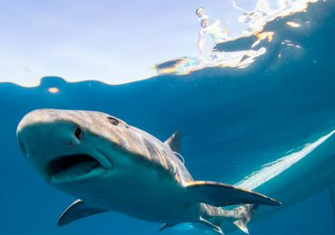 Los tiburones encuentran así el camino a casa