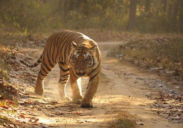 Los tigres de los bosques de Satpura