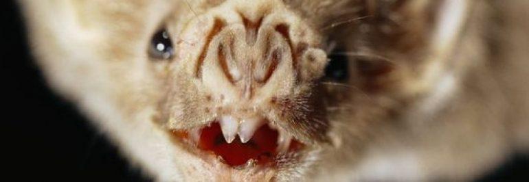 Los vampiros tienen sensores para localizar venas