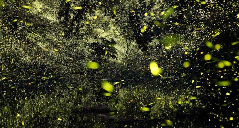 Luciérnagas captadas por lectores de National Geographic