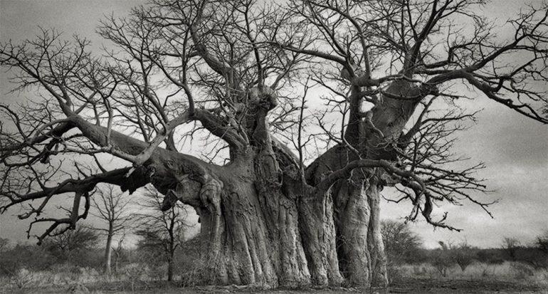 Mamífero gigante ataca baobabs