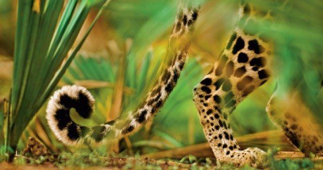 Manchas de leopardo