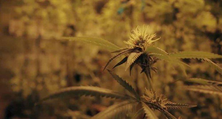 Marihuana como la única opción