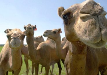 Marruecos a camello