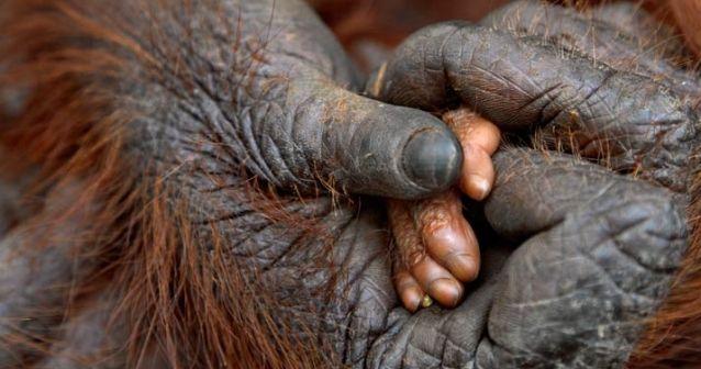 Matanza de gorilas del Congo