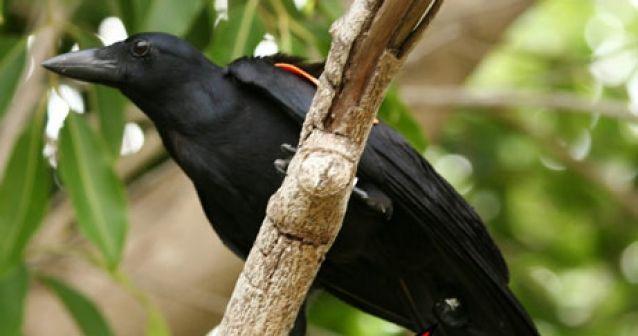 Minúsculas cámaras cuervo captan el uso de herramientas en aves silvestres