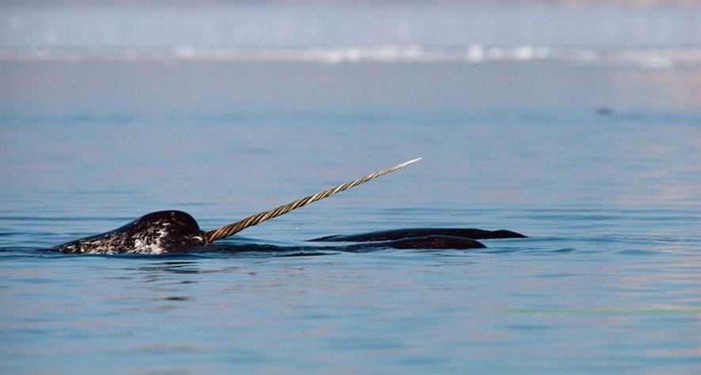 Resultado de imagen de cuerno de narval