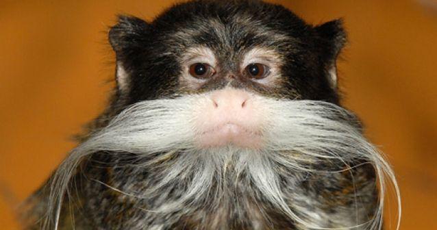 Mono con bigotes