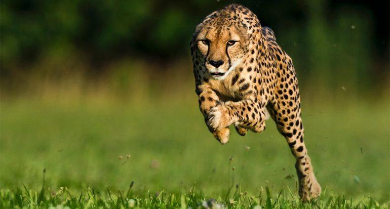 Muere la guepardo más rápida del mundo. Mírala correr.