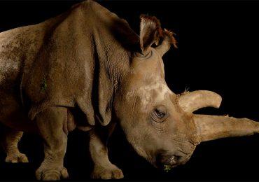 Muere raro rinoceronte blanco. Solo quedan cuatro en el mundo.