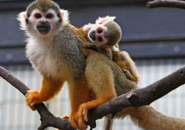 Mueren monos en laboratorio en un estudio sobre la nicotina