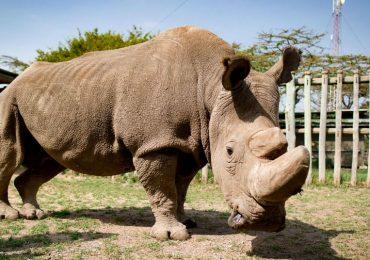 Murió ?Sudán? el último rinoceronte macho blanco del norte