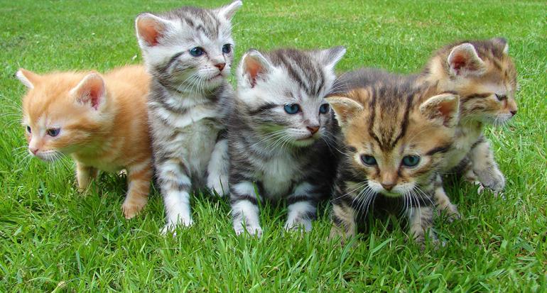 Mutaciones genéticas hicieron dócil al gato doméstico