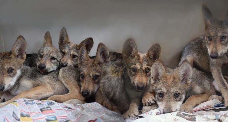 Nace la camada más numerosa registrada de lobo mexicano en México