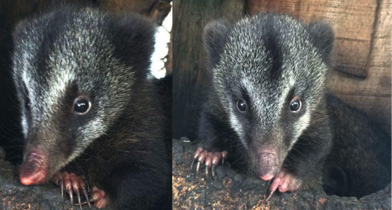 Nace la primera cría de coatí de montaña en Colombia