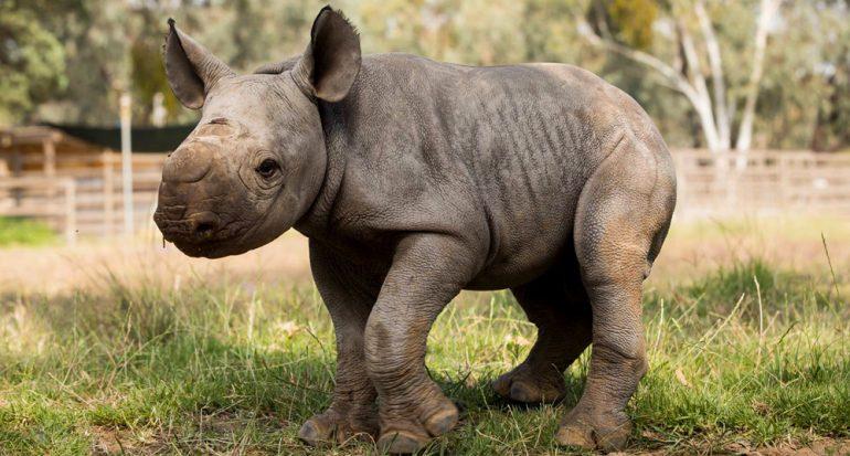Nace un rinoceronte negro en Australia