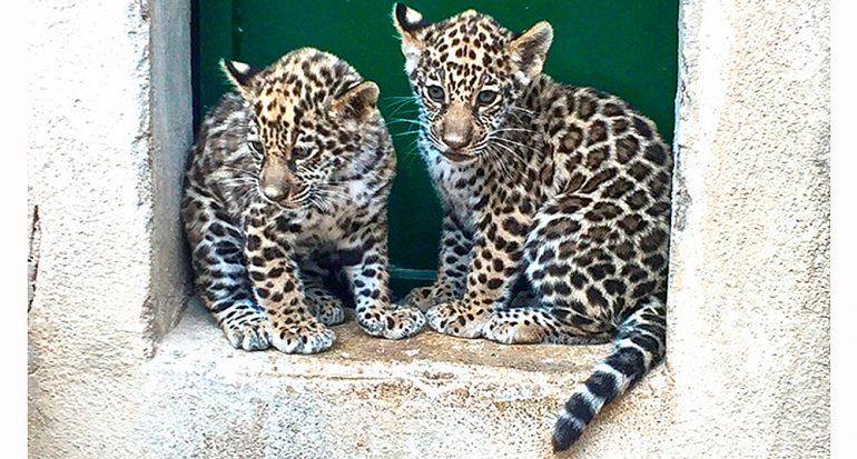 Nacen dos crías de jaguar en Benidorm