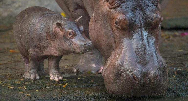 Nació el primer hipopótamo en Disney en 13 años
