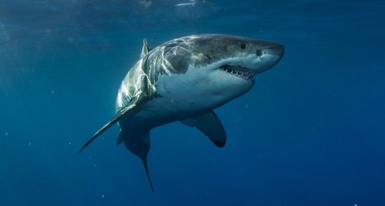 Nariz de tiburón
