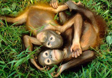Nuestras 10 fotos favoritas de orangutanes