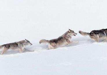 Nuestras 12 fotos favoritas de lobos