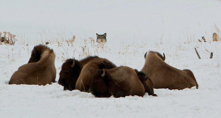 Nuestras fotografías favoritas de lobos