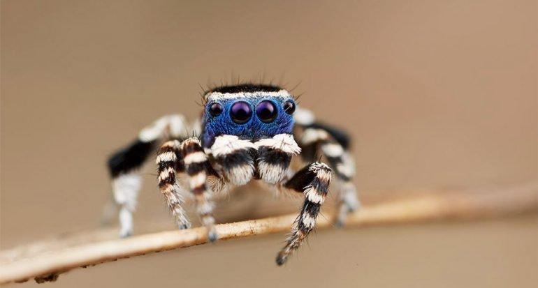 Nueva araña: De cara azul