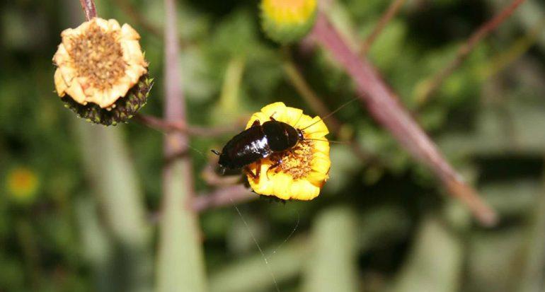 Nueva especie de cucaracha polinizadora es investigada en Chile