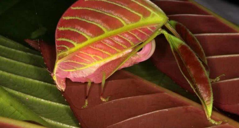Nueva especie de insecto en Borneo: ¡Las hembras son rosas!