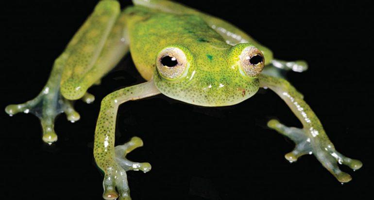 Nueva especie de rana de cristal descubierta en Ecuador