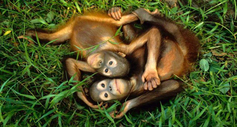 Orangutanes en aprietos: están en peligro crítico de extinción