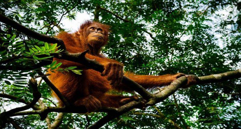 Orangutanes: hermosos y en peligro de extinción