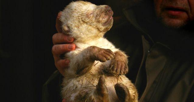 Oso polar recién nacido