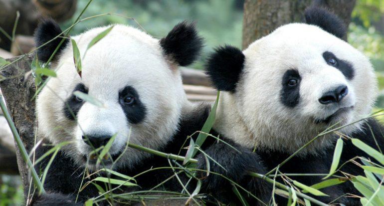 Pandas en peligro