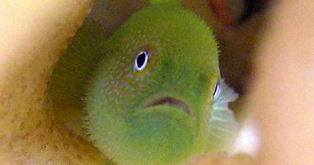 Peces coralinos pasan hambre para preservar el orden social